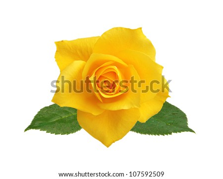 beautiful yellow rose with leaves isolated on white background - stock photo