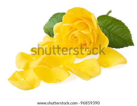 Beautiful yellow rose with petals isolated on white. Closeup - stock photo