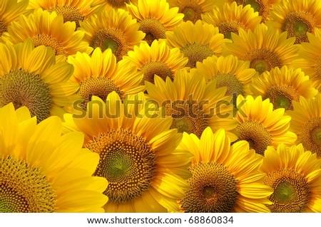 beautiful yellow Sunflower - stock photo