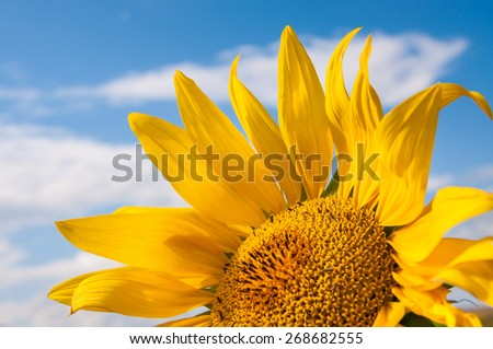 Beautiful yellow sunflower against the blue sky. Small depth of field.  - stock photo