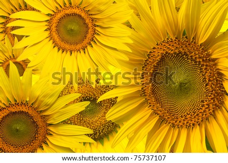 Beautiful yellow Sunflower background closeup