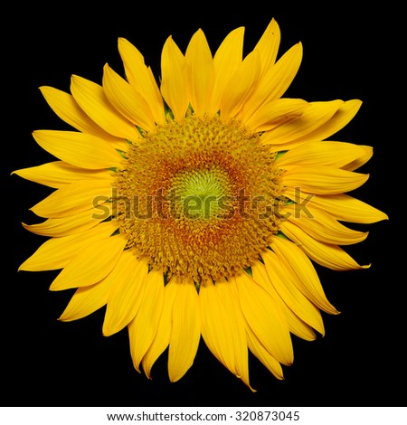 Beautiful  Yellow Sunflower Flower. Closeup on Petals Isolated on black Background - stock photo