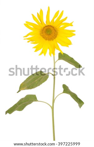 Beautiful yellow sunflower isolated on white