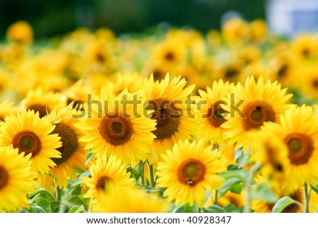 Beautiful Yellow Sunflower Petals Closeup - stock photo