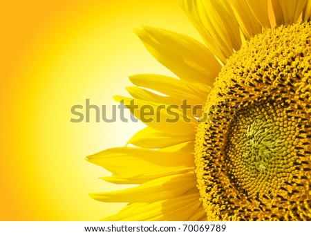 Beautiful yellow Sunflower petals closeup.