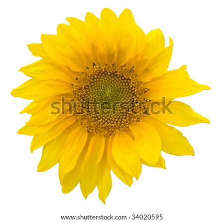 beautiful yellow Sunflower petals closeup with clipping path