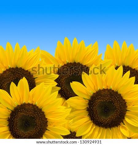 beautiful yellow sunflowers isolated on blue background - stock photo