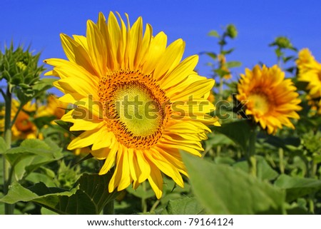 Beautiful yellow sunflowers on a field with blue sky background - stock photo