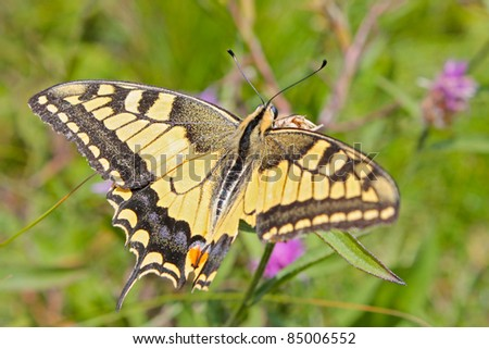 Beautiful Yellow Tiger  Swallowtail Butterfly  sitting on the flower - stock photo