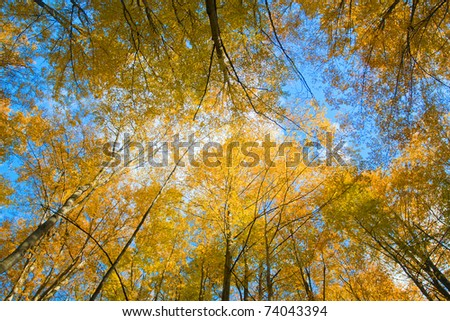 Beautiful yellow trees under blue autumnal sky - stock photo