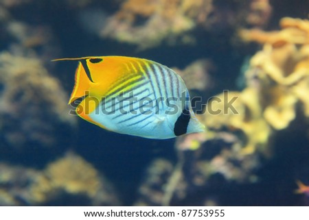 Beautiful yellow tropical fish with coral background