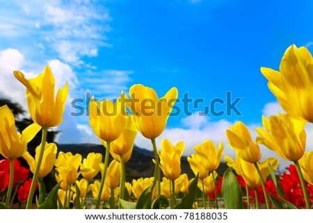 Beautiful yellow tulip blooms against a blue sky - stock photo