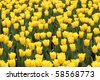 beautiful yellow tulip field in spring - stock photo