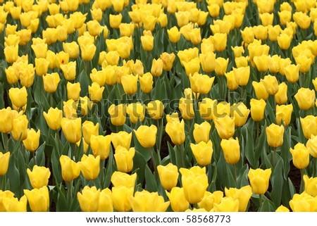 beautiful yellow tulip field in spring - stock photo