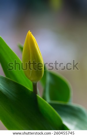 Beautiful yellow tulips flowers close up. Nature background