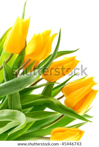 Beautiful yellow tulips isolated on white background.