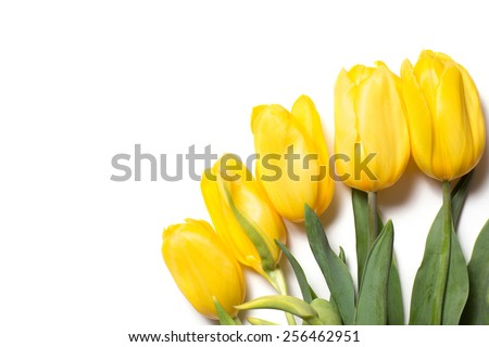 Beautiful yellow tulips on white background. Top view, copy space