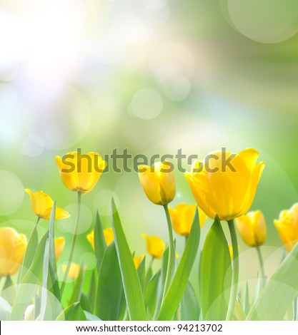 beautiful yellow tulips with light reflect in morning - stock photo