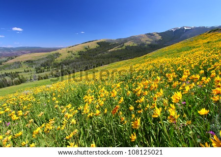 Beautiful yellow wildflowers bloom across a hillside at Yellowstone National Park - stock photo
