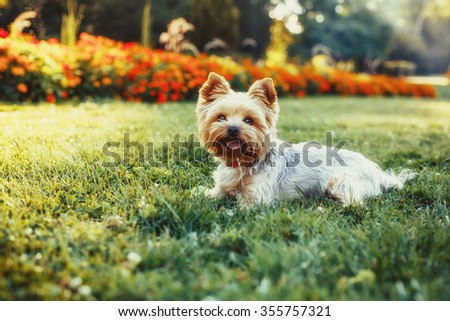 Beautiful Yorkshire Terrier Dog on the green grass - stock photo