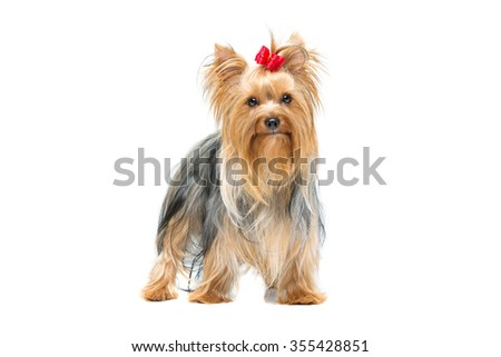 Beautiful yorkshire terrier dog with red bow standing. Isolated over white background. Copy space.