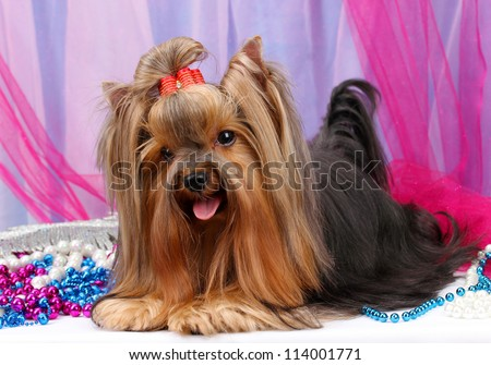 Beautiful yorkshire terrier on background fabric