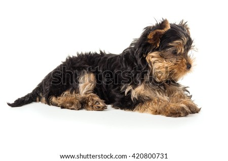 Beautiful Yorkshire terrier puppy isolated on white background - stock photo