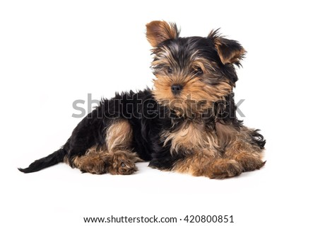 Beautiful Yorkshire terrier puppy lying isolated