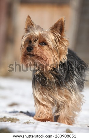 Beautiful Yorkshire Terrier standing on snow in winter