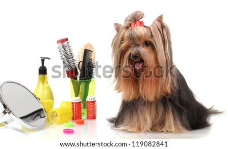 Beautiful yorkshire terrier with grooming items isolated on white - stock photo