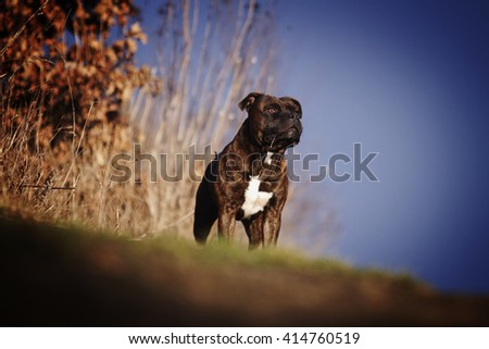 beautiful young American Staffordshire Terrier dog or puppy standing in a meadow at dusk - stock photo