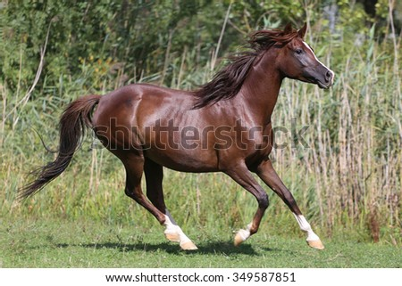 Beautiful young arabian mare galloping on pasture - stock photo