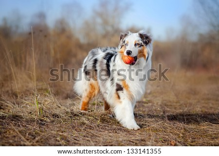 Beautiful young Australian Shepherd keeps the red ball - stock photo