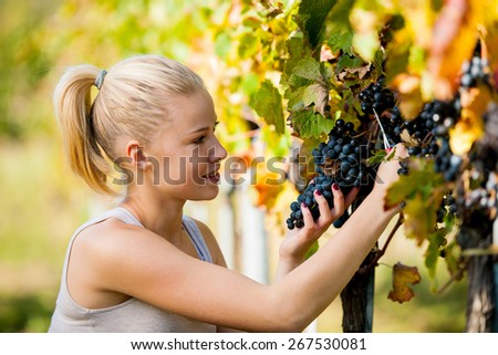 Beautiful young blonde woamn harvesting grapes outdoors  in vineyard - stock photo