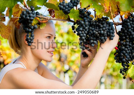 Beautiful young blonde woman harvesting grapes outdoors  in vineyard - stock photo