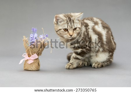 Beautiful young British cat, marble color with brown stripes and blue flower - stock photo