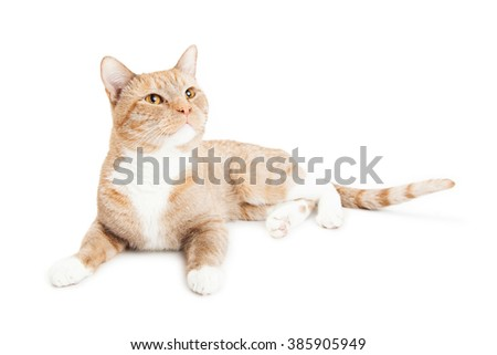 Beautiful young cat laying on a white background looking up and to the side
