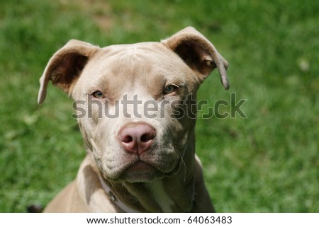 Beautiful young champagne pit-bull terrier
