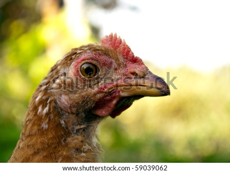 Beautiful young chicken in the yard on a background of green - stock photo