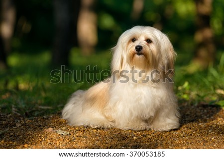 Beautiful young cream havanese dog is sitting on a sunny forest path in late summer - stock photo