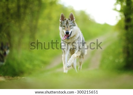 beautiful young Czechoslovakian wolfdog dog Saarloos Wolfhound puppy running and flying  - stock photo