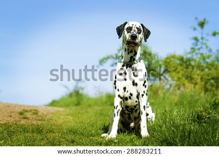 Beautiful young dalmatian dog waiting for his master on the road in the summer countryside - stock photo