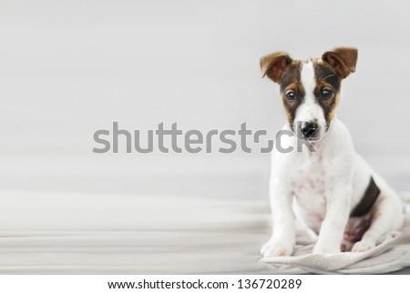 beautiful young dog sitting and watching - stock photo