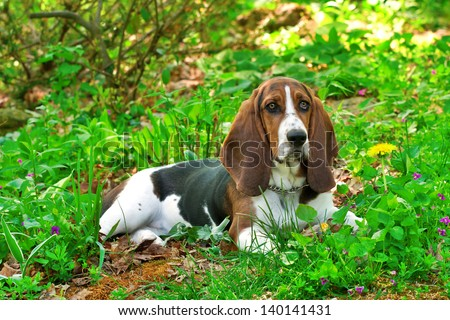 beautiful young female basset hound amongst green summer plants in garden with head up and ears forward - stock photo
