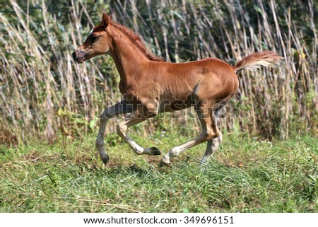 Beautiful young filly gallop in pasture summertime