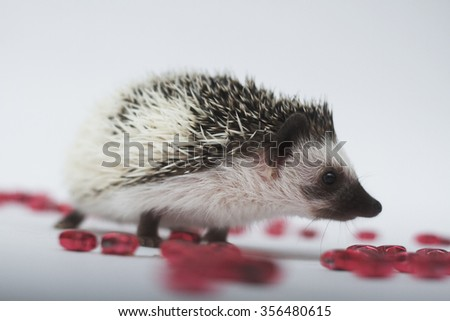 beautiful young friendly African pygmy hedgehog young  color algerian  black pinto on Christmas background curiously exploring nearby