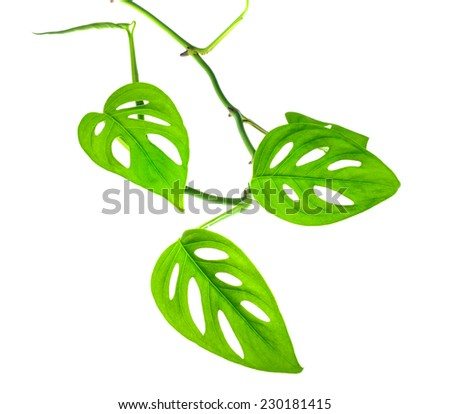beautiful young green monstera (var. expilata) branch isolated on white background, closeup - stock photo