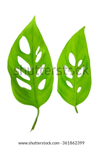 beautiful young green monstera (var. expilata) leafs is isolated on white background, close up - stock photo