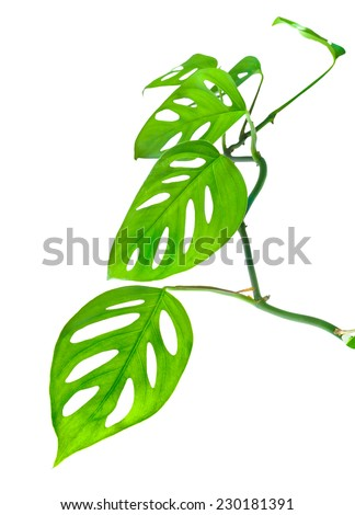 beautiful young green monstera (var. expilata) twig is isolated on white background, closeup - stock photo