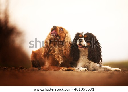 beautiful, young, healthy, happy, cheerful, funny, funny two Cavalier King Charles Spaniel dog or puppy lying next to each other on a dirt road, spring season, games, socializing, walking, training,